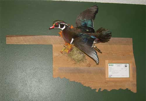 Oklahoma duck mount
